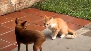 Смешно Кот против собаки
