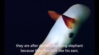 The Amazing Dumbo Octopus Movie by Edward & Lydia Thumbnail