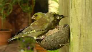 Leucistic Greenfinch - Pied Greenfinch - Verdier d