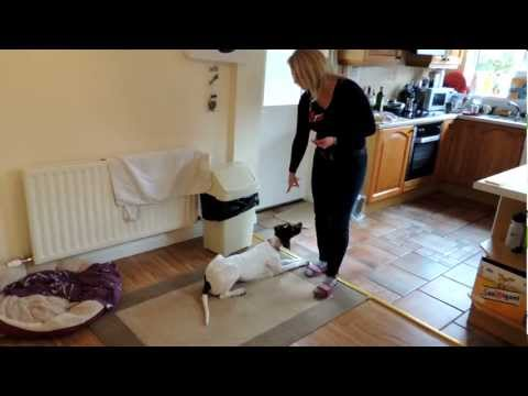 Lilly 6 months old English pointer training