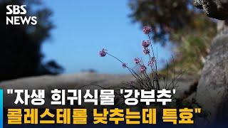 """""""자생 희귀식물 '강부추' 콜레스테롤 낮추는데 특효"""" / SBS"""