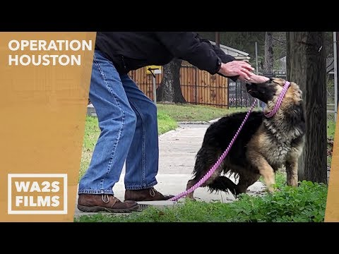 Rescue of Starving Homeless German Shepherd Dog from Busy Street: Operation Houston