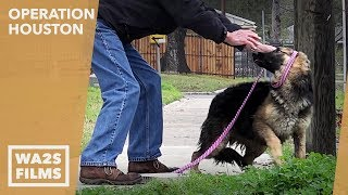 Rescue Of Beautiful German Shepherd On Houston Street Before Tragedy! Wa2s.org For Updates On Anna