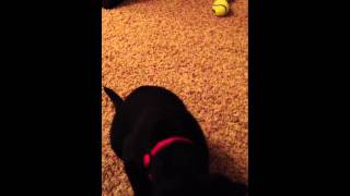 Puppy Clicker Training: Black Lab Learning Sit And Down Part 1