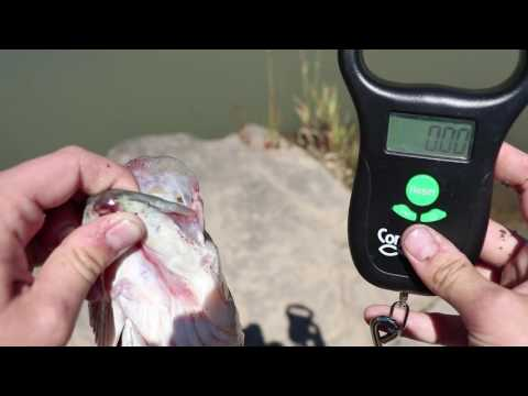 How To Weigh Fish Using The ConnectScale