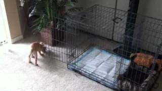 French Bulldog Chloe's Aparment ( Crate )