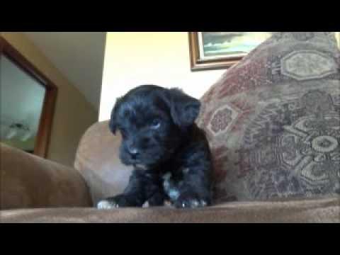 Uptown Dog's Black Schnoodle