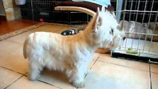 Westie Male Puppy Available - 15 Weeks Old