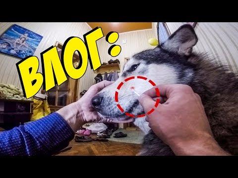 ВЛОГ: Хаски прокусил морду маламуту | Херсон  | Встреча с подписчиками