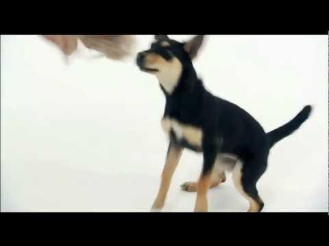 DOGS 101: Australian Kelpie