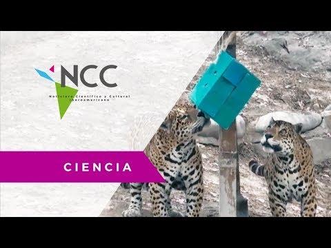 Grandes felinos se encuentran en la lista de especies en peligro