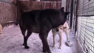 Канадский волк и западно-сибирская лайка 6 месяцев, дружба Волка и собаки, северный волк