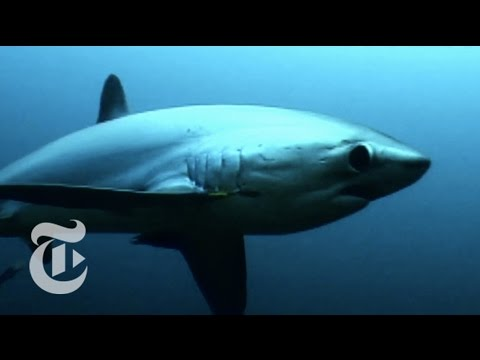From The New York Times' ScienceTake: Thresher Shark's Deadly Tail
