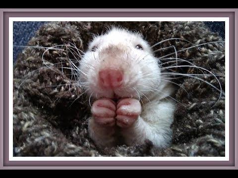 ПОЧЕМУ СКРИПЯТ ЗУБАМИ КРЫСА СТУЧИТ ЗУБАМИ Стучат зубы скрежет зубами Домашние крысы