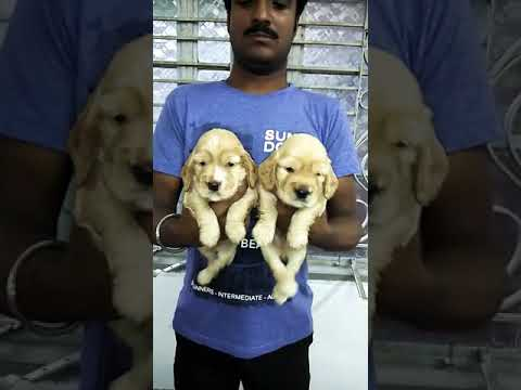 35 days old Golden American Cocker Spaniel puppies for sale in Delhi Dwarka dog kennel call us now