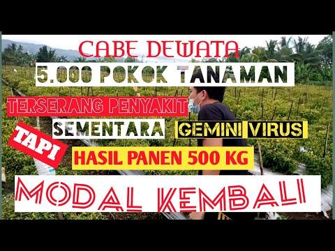 Cabai Dewata 43 F1 5.000 POKOK TANAMAN