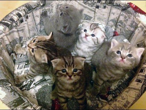Шотландские котята онлайн | kittens online 25 марта. Нам 1 месяц!