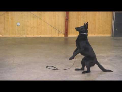 "Black German Shepherd ""Angel"" 7 1/2 Mo's Obedience/Protection Tricks Home Raised For Sale"