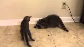 Дружба котенка с енотом! Прикольное видео на ютубе!