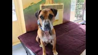 Vinny Is A Smart Shar-pei, Boxer Mix At Muttville
