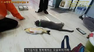 [따뜻한엄마고양이협회][149th]#길고양이입양#쵸코입…