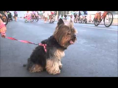 Yorkshire Terrier, CUTE Yorkshire Terrier, YORKIE, FUNNY DOG VIDEOS, FUNNY VIDEOS, FUNNY ANIMALS VID