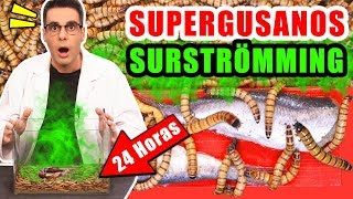 SUPERGUSANOS CARNÍVOROS VS SURSTRÖMMING 24 Horas