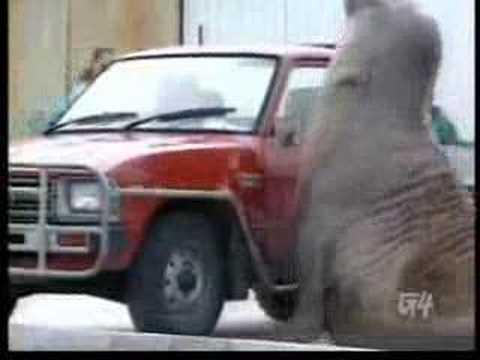 Elefante Marino Enfadado(Mad Elephant Marino)