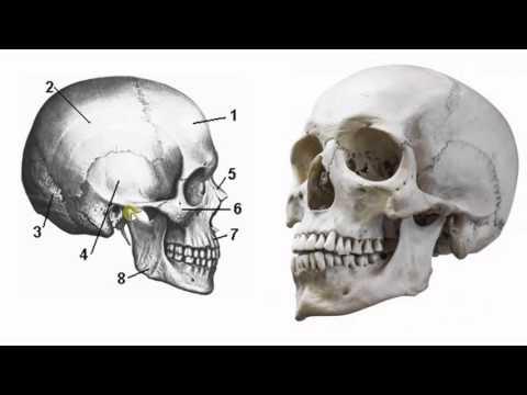 Легкие человека Анатомия Легких, строение, функции