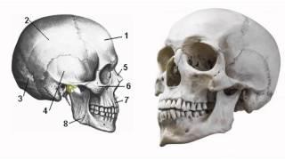 Биология в картинках: Строение черепа человека (Вып. 13)