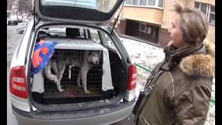 видео Как правильно перевозить собаку в машине? Подскажем!