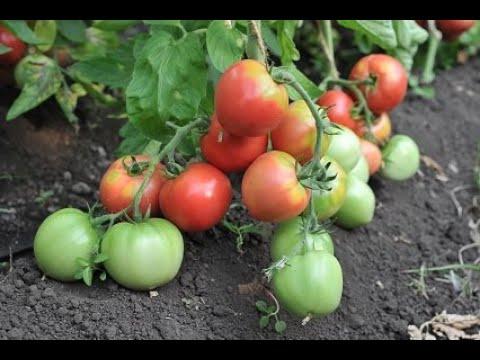 Описание и характеристика сорта томат Пронус | филаткина | урожайные | комнатные | растения | садовые | садовод | людмила | яблони | фрукты | урожай