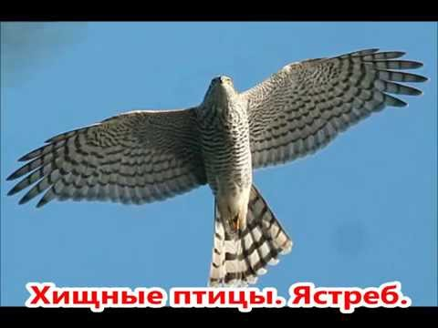 Хищные птицы России. Презентация.