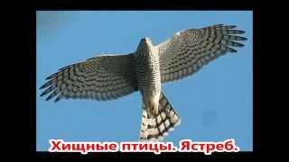 Хищные птицы России. Презентация.4 класс.