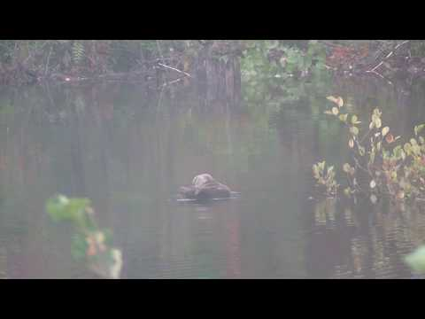 black duck and beaver 1