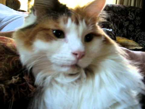 Norwegian Forest Cat:  Pet Therapy cat purr