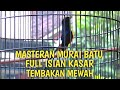 Masteran Murai Batu Full Isian Tembakan Kasar Dan Mewah  Mp3 - Mp4 Download