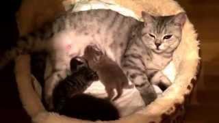 видео Чихуахуа стала мамой трем осиротевшим котятам