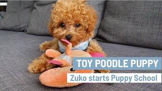 CUTEST Toy Poodle Puppy |  Zuko starts puppy school