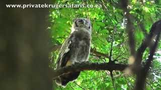 Verreaux's eagle owl Largest African Owl