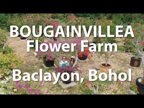 Bougainvillea Flower Farm Edith Grand Garden Baclayon - Living in Bohol (Day 5)