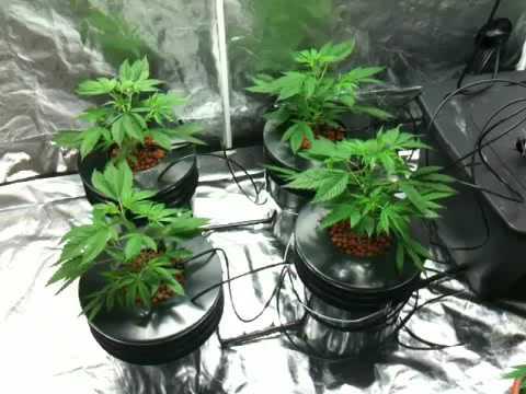 Recirculating Dwc Medical Marijuana Youtube