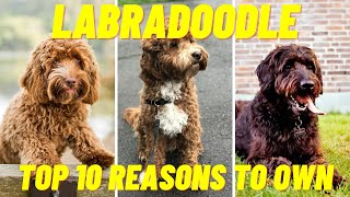 LABRADOODLE  Top 10 Facts and Reasons to Own a Labradoodle