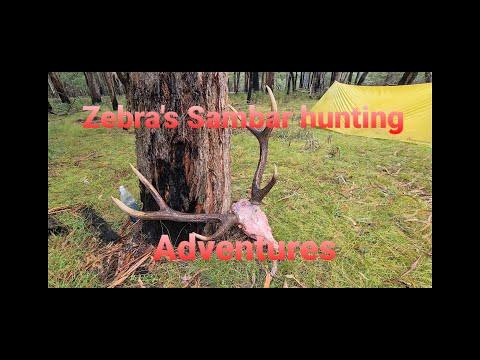 Sambar deer hunting (unbelievable footage of stag Vs dingo)