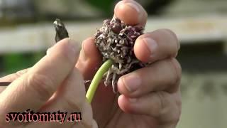 Как заготовить семенной материал для выращивания озимого чеснока