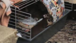 щенки чихуахуа играют