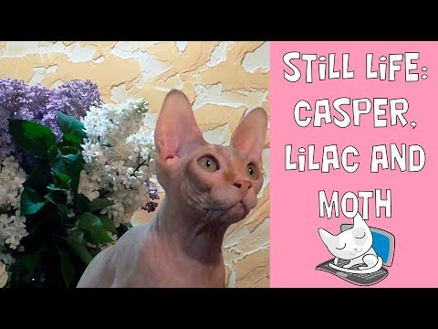 Still Life: funny  sphynx cat Casper, blooming lilac and insolent moth