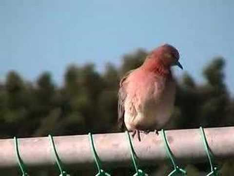 Perth backyard wildlife part 4 -  Doves