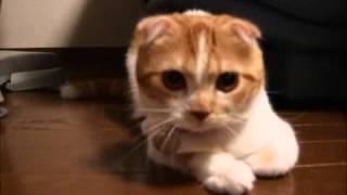 Барбузяка, белый котик облизывается