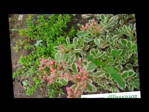 Неприхотливые почвопокровные  цветы  многолетники